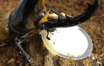 ヘラクレスオオカブトの飼育は難しい?幼虫から育ててみた!